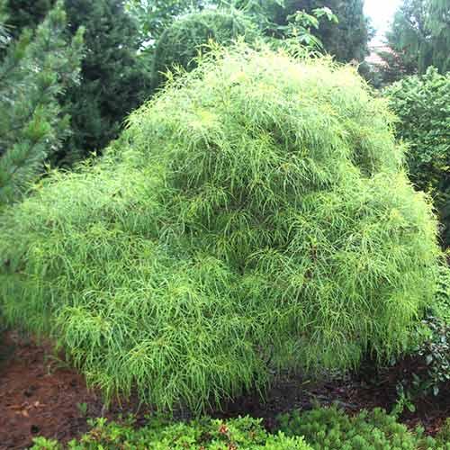 Crușin Aspleniifolia imagine 1 articol 4441