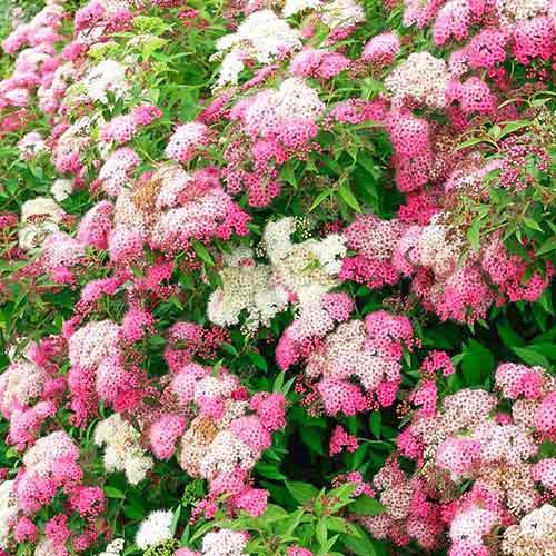 Cununiță japonica Shirobana imagine 1 articol 4479