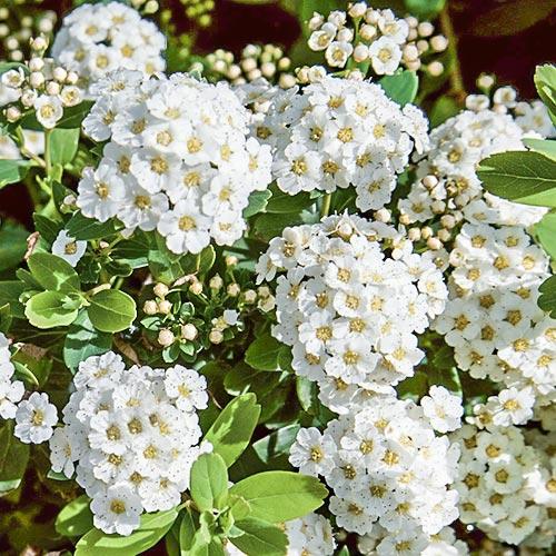 Cununiță japonica Snowmound imagine 2 articol 9193