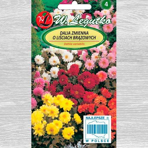 Dalii duble Diablo, mix multicolor Legutko imagine 1 articol 69579
