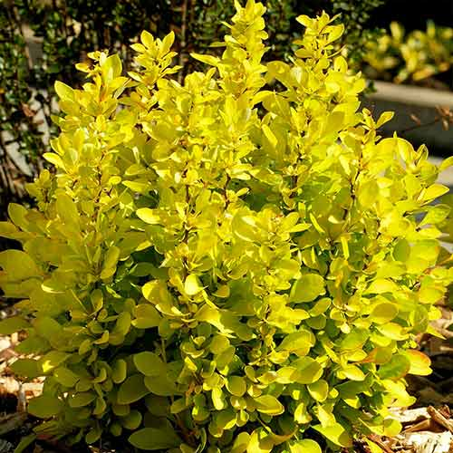 Dracila japoneză Golden Horizon imagine 1 articol 4407