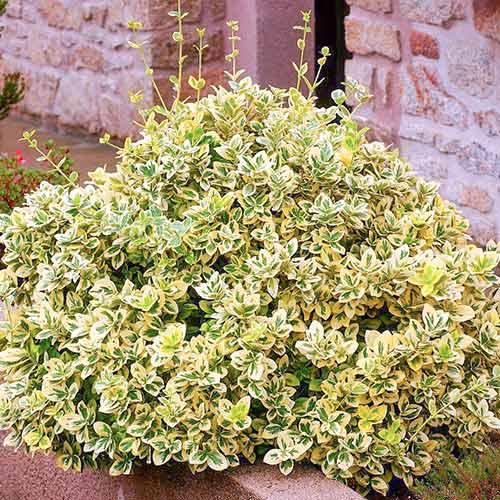 Euonymus Emerald Gold imagine 1 articol 4434