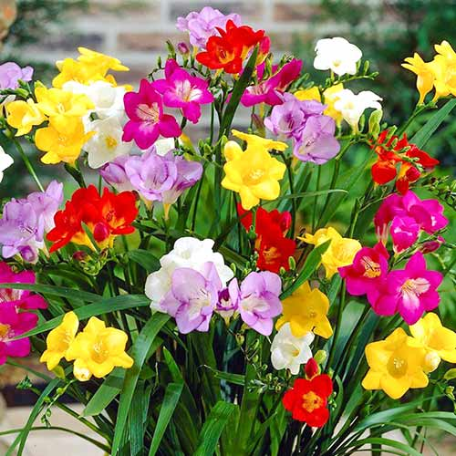 Frezie mix multicolor imagine 1 articol 67886