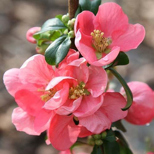 Gutui japonez Pink Lady imagine 1 articol 4421