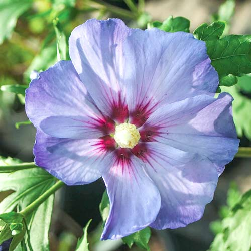 Hibiscus Azurri imagine 1 articol 3948
