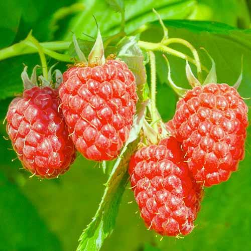 Hibrid de mure și zmeură Loganberry imagine 1 articol 7509