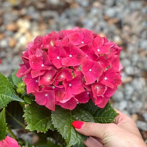 Hortensia macrophylla Alpengluhen imagine 1 articol 4444
