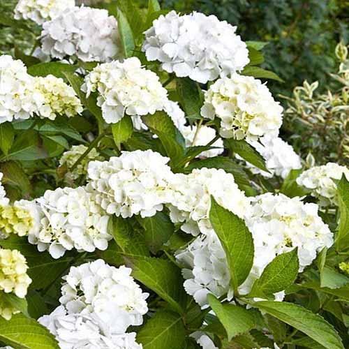 Hortensia macrophylla Lanarth White imagine 1 articol 4448