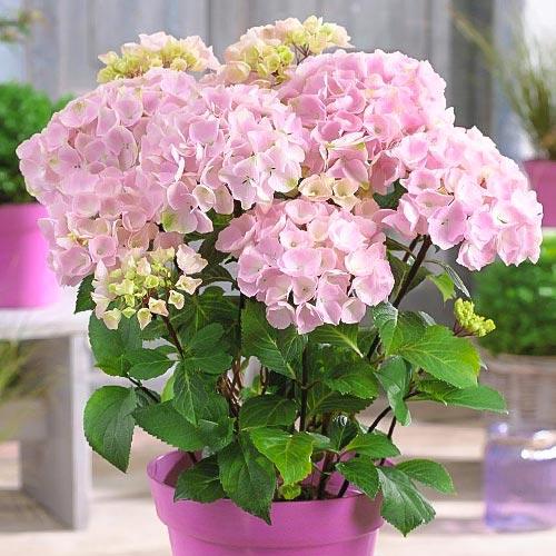 Hortensia macrophylla Pink imagine 1 articol 9174
