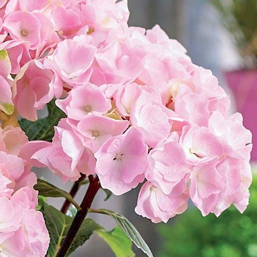 Hortensia macrophylla Pink imagine 2 articol 9174