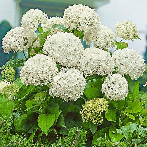 Hortensia macrophylla White imagine 1 articol 9173