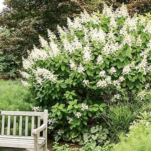 Hortensia paniculată Tardiva imagine 1 articol 4057