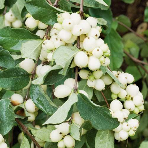 Hurmuz White Hedge imagine 1 articol 4484