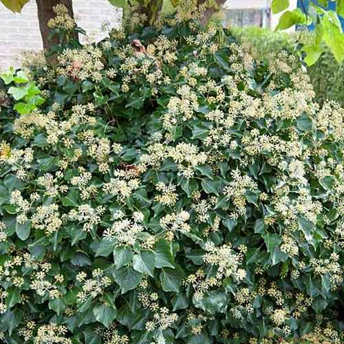 Iederă Arborescens imagine 1 articol 4044