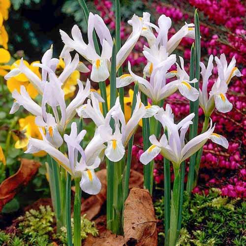 Iris Natascha imagine 1 articol 70227