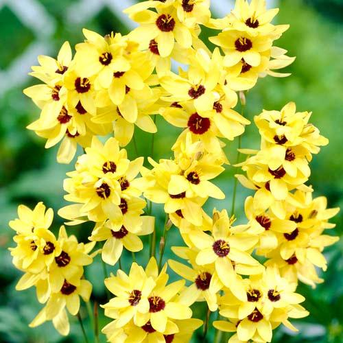 Ixia Yellow Emperor imagine 1 articol 68058