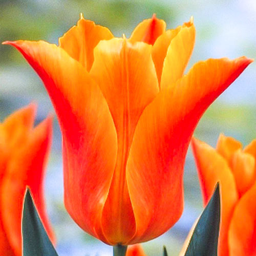 Lalele Ballade Orange imagine 1 articol 67690