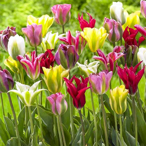 Lalele Viridiflora mix multicolor imagine 1 articol 67871