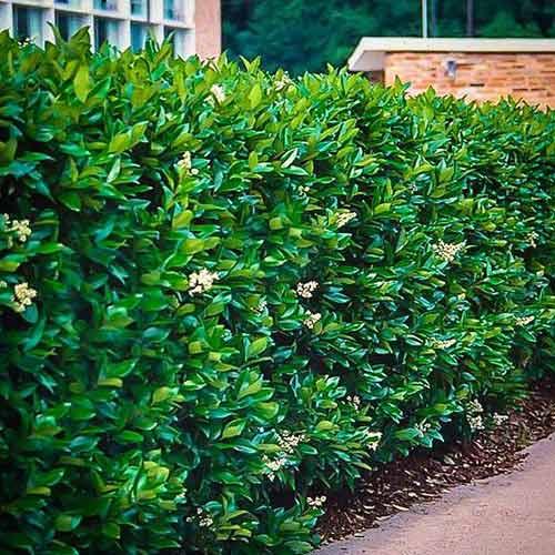 Lemn câinesc Green Century imagine 1 articol 4074
