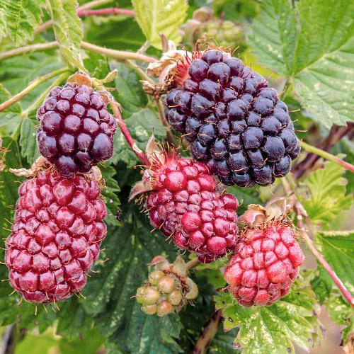 Hibrid de mure și zmeură Boysenberry imagine 1 articol 7508