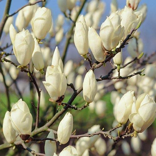 Magnolia Alba Superba imagine 2 articol 9592