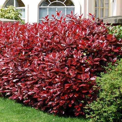 Photinia fraseri Fireball Red imagine 1 articol 4470