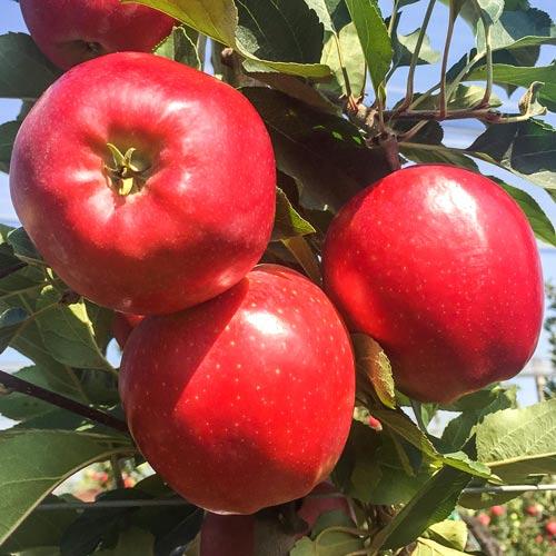 Măr Gala Lord imagine 1 articol 7974