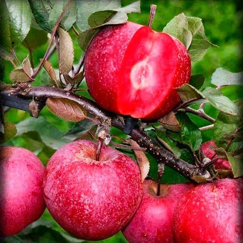 Măr Red Pearl imagine 1 articol 7976