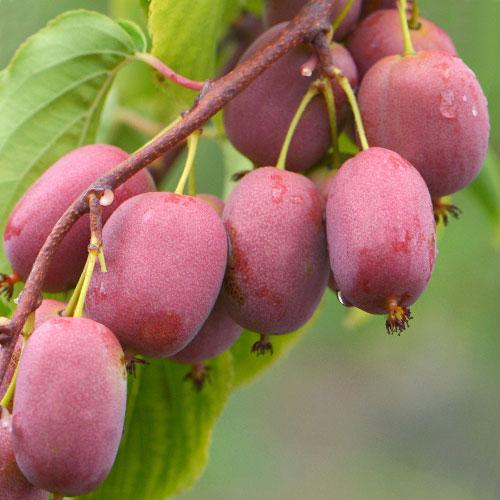 Mini kiwi Purpurna Sadowa imagine 1 articol 9315