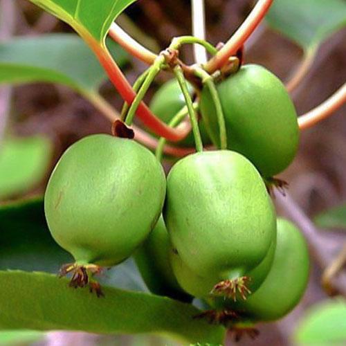Mini kiwi Sentyabraskaya imagine 1 articol 9316
