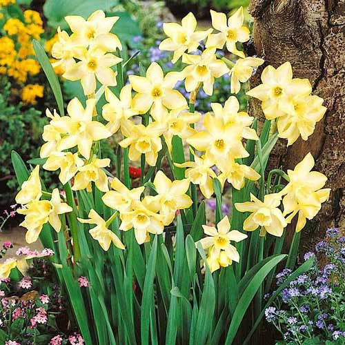 Narcise Pipit imagine 1 articol 67656