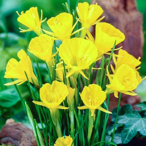 Narcise Golden Bells imagine 1 articol 68069