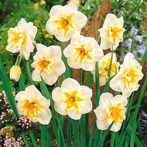 Narcise Delta imagine 1 articol 68020