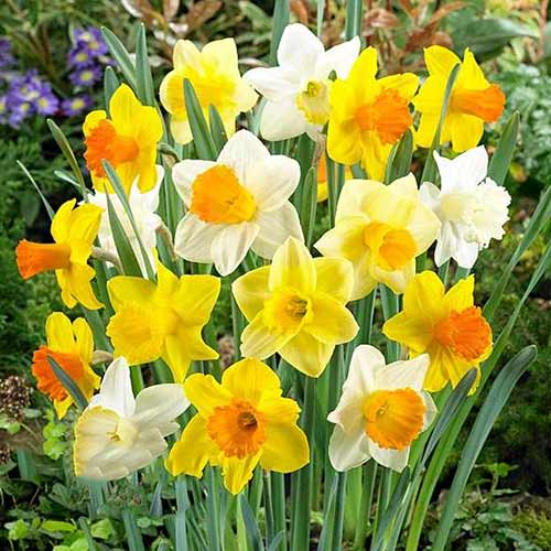 Narcise trumpet mix multicolor imagine 1 articol 67665