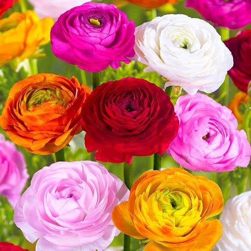 Ranunculus mix multicolor imagine 1 articol 67032