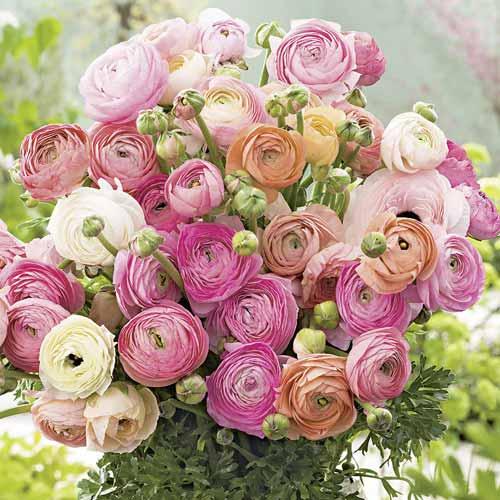 Ranunculus Pastell mix multicolor imagine 1 articol 68123