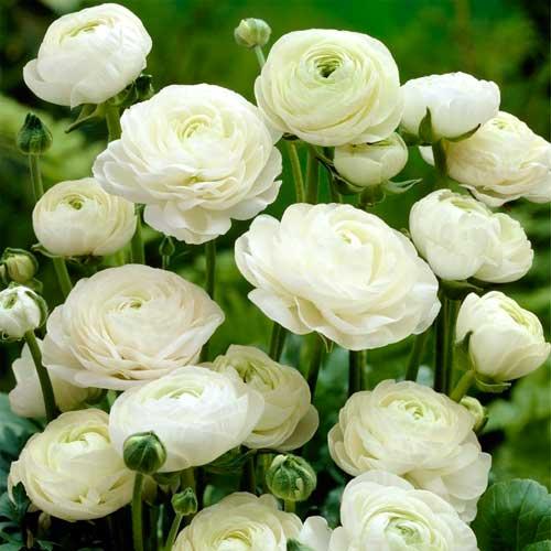 Ranunculus White imagine 1 articol 67279