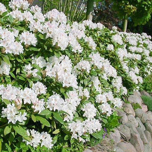 Rhododendron Cunningham White imagine 1 articol 9088