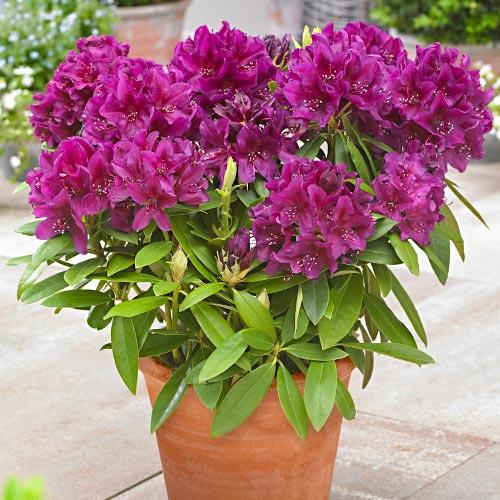 Rhododendron Polarnacht imagine 1 articol 9157