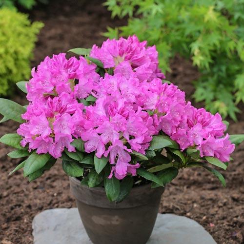 Rhododendron Roseum Elegans imagine 2 articol 9089