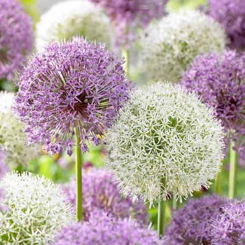 Super ofertă! Allium, set de 2 soiuri imagine 1 articol 67927