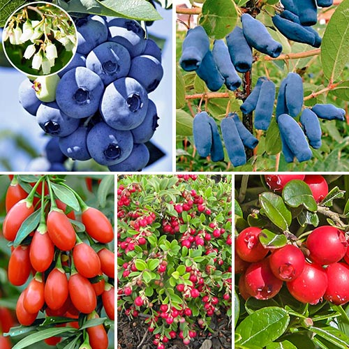 Super ofertă! Arbuști fructiferi Perla Siberiei, set de 5 soiuri imagine 1 articol 9339