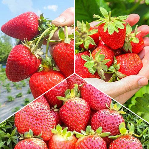 Super ofertă! Căpșuni super remontanți, set de 3 soiuri imagine 1 articol 9825