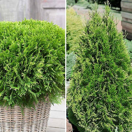 Super ofertă! Conifere Duo, set de 2 puieți imagine 1 articol 9468