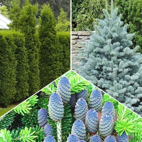 Super ofertă! Conifere Magic Forest. set de 3 puieţi imagine 1 articol 9469