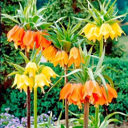 Super ofertă! Lalea imperială (Fritillaria), set de 3 soiuri imagine 1 articol 67931
