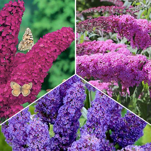Super ofertă! Liliac de vară Trio, set de 3 soiuri imagine 1 articol 9114