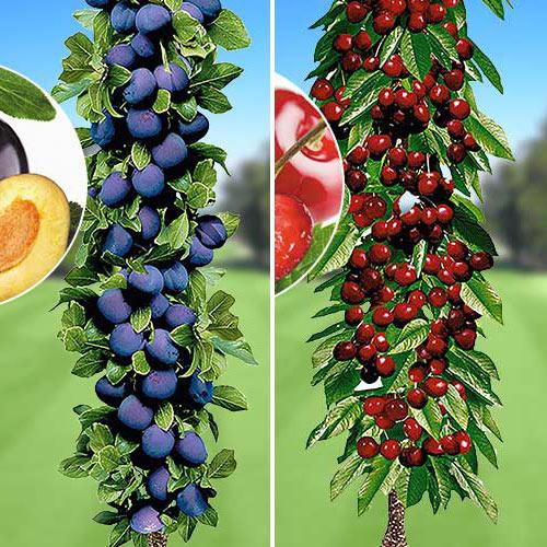 Super ofertă! Pomi columnari Deliciul fructelor, set de 2 soiuri imagine 1 articol 1953