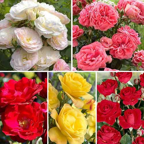 Super ofertă! Trandafiri floribunda Color mix, set de 5 soiuri imagine 1 articol 3689