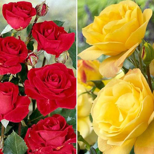 Super ofertă! Trandafiri floribunda Duo, set de 2 soiuri imagine 1 articol 3688